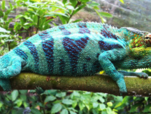 I camaleonti del Madagascar